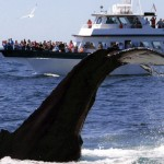 Thar she dives! (Photo via Provincetown Whale Watch)