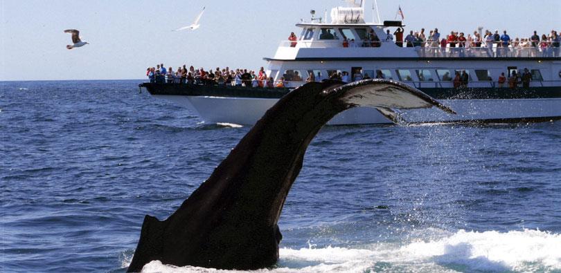 Thar she dives! (Photo via Provincetown Whale Watch)