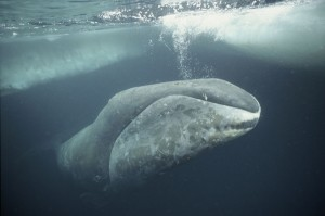 Balaena mysticetus, or bowhead whale. (Photo: naturepl.org/Martha Holmes)