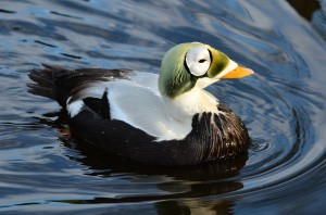 A male spectacled eider. (Photo: Olaf Oliviero Riemer)
