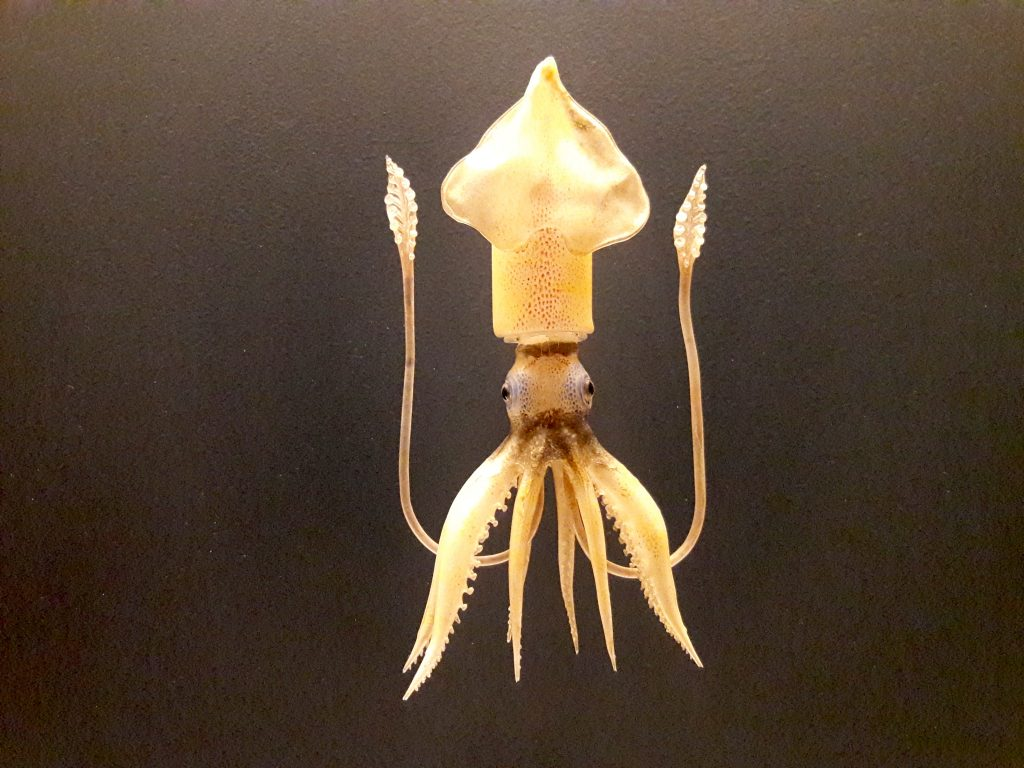 Blaschka glass model of a squid