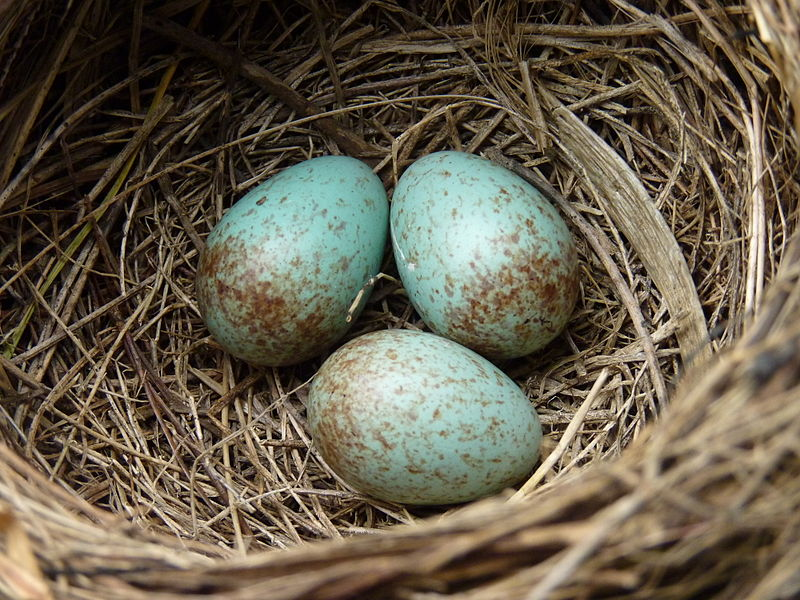 bird nest with three blue eggs